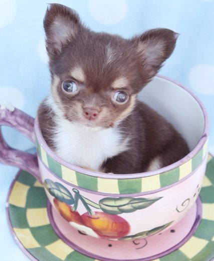 Little Chocolate Chihuahua Puppy By Teacupspuppies Com Teacup