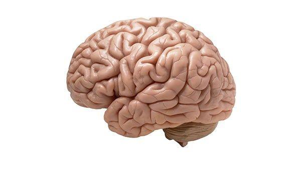 fakta om hjärnan