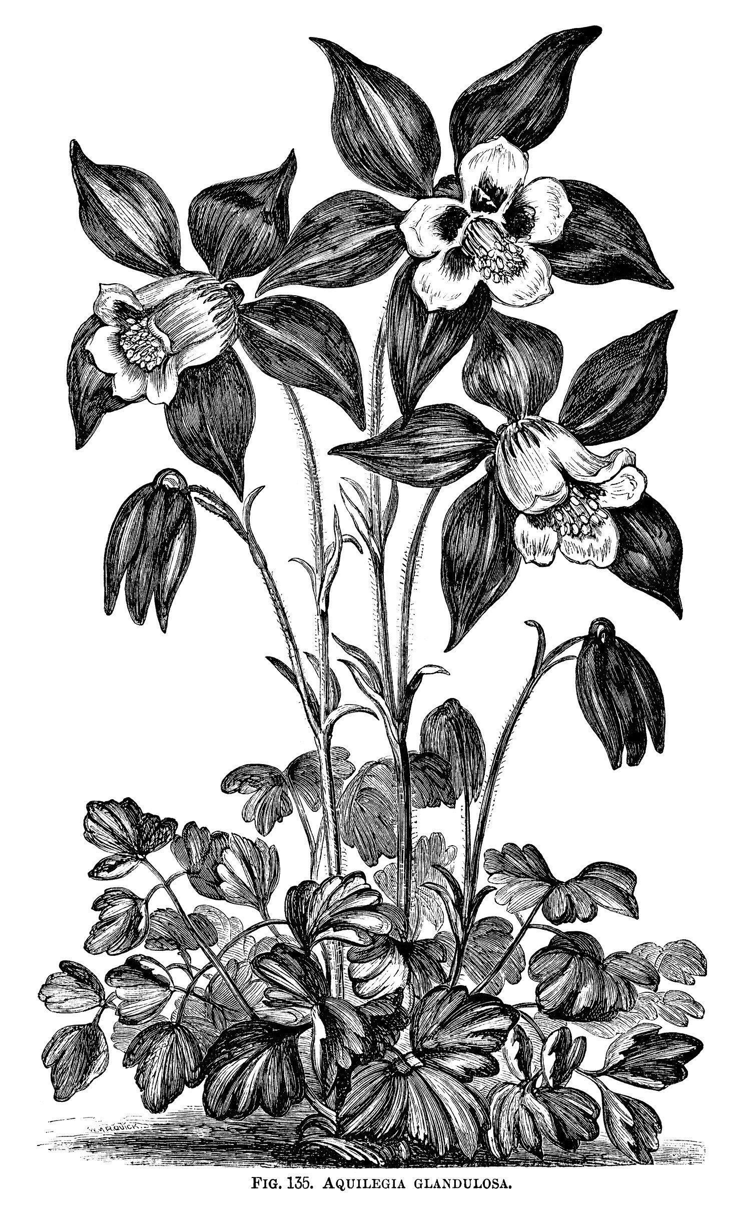 Aquilegia Glandulosa Grannys Bonnet Flower Black And White