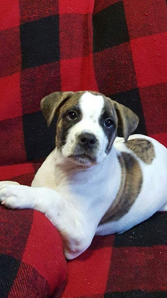 French Bulldog Puppy For Sale In Knoxville Tn Adn 66757 On