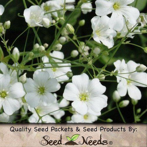 How To Grow Baby S Breath Or Gypsophilia Gypsophila Elegans Flower Farm Gypsophila