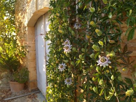Passion Fruit Growing Wild On Our Wall Flowering Vines Passion Flower Vine Wall
