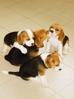 Beagle Hunting Iguana Cute Beagles Beagle Puppy Baby Beagle
