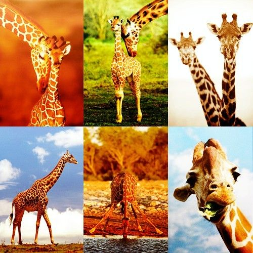 I suddenly love giraffes