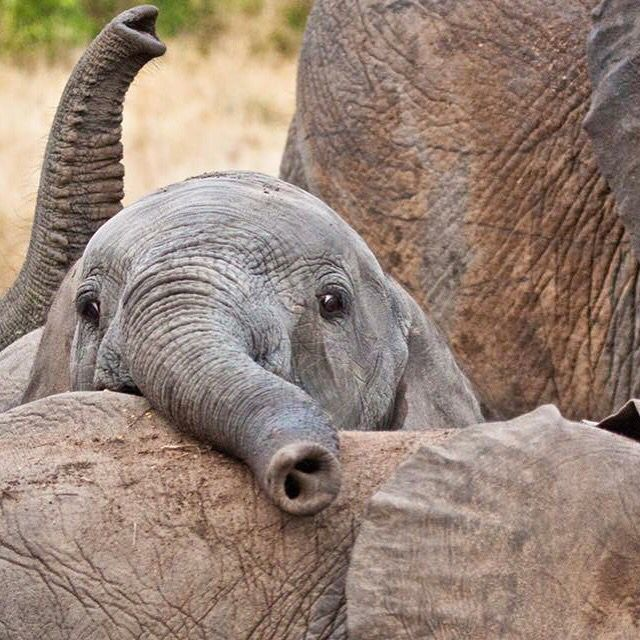 I can't handle the cuteness of baby elephants, what fun and wonderful animals!