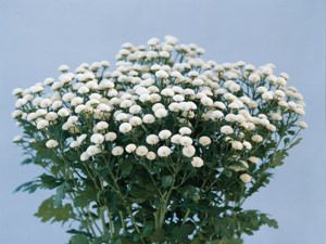 Tanacetum Matricaria Types Parthenium Ultra White Seed Summer Flowers To Plant Plants Planting Flowers