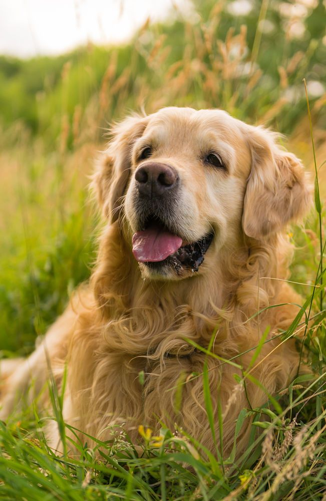 Golden Light Ii Sebastien Clark Dog Obedience Golden