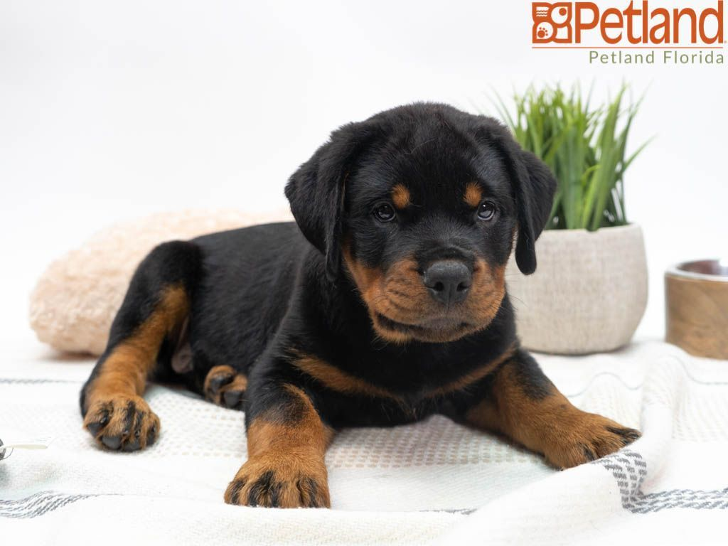 Puppies For Sale Rottweiler puppies for sale, Rottweiler