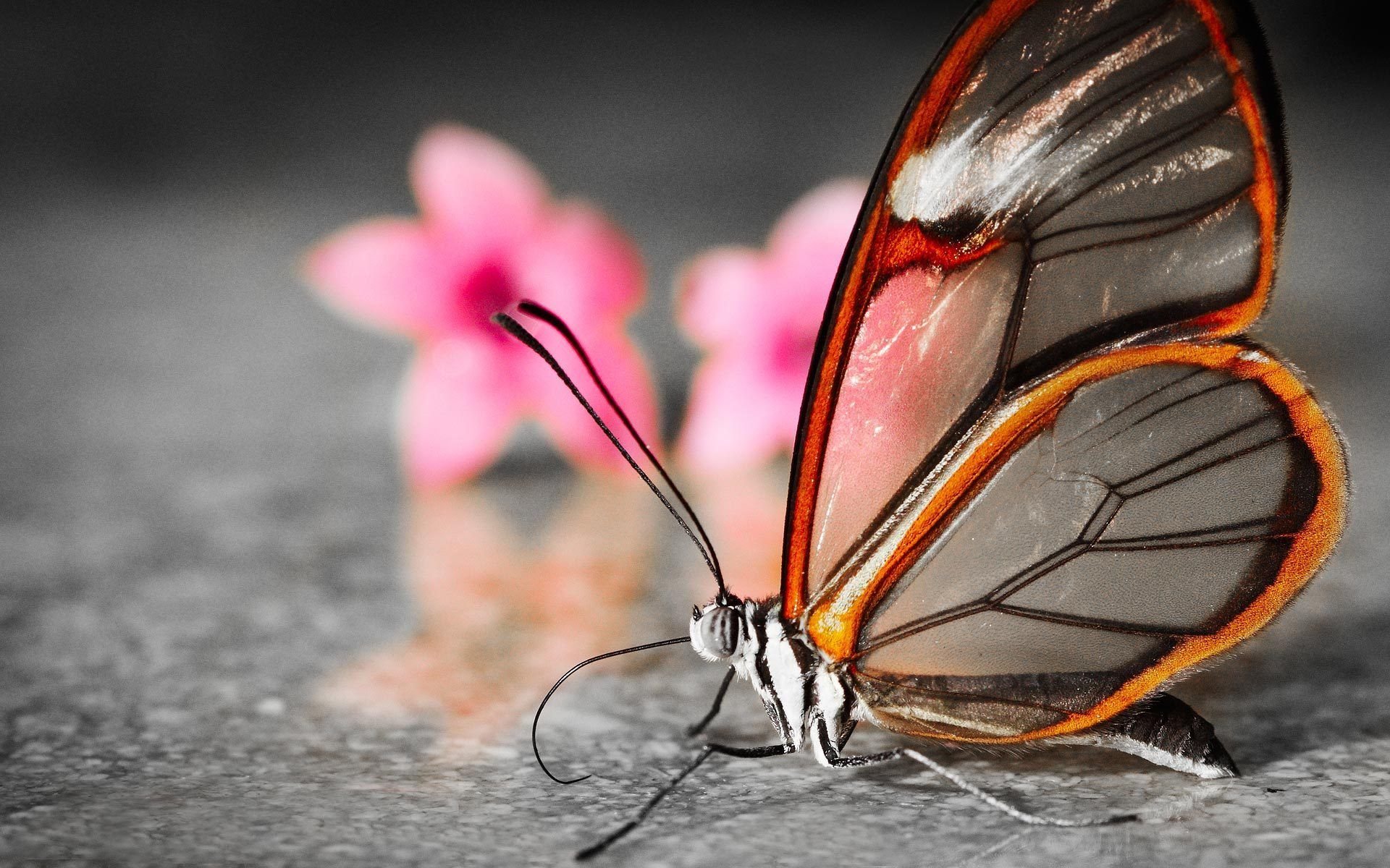 Download Free 3d Wallpapers Pictures And Desktop Backgrounds Amazing Collection Of Beautiful Butterfly Pictures Glasswing Butterfly Most Beautiful Butterfly