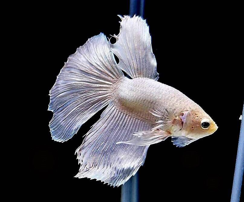 Betta Fish - Betta Fish ideas #bettafish #fishbetta Live Tropical