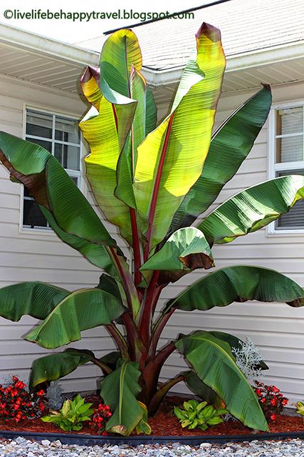 Red Banana Tree Tropical Garden With A Cold Climate Arkansas