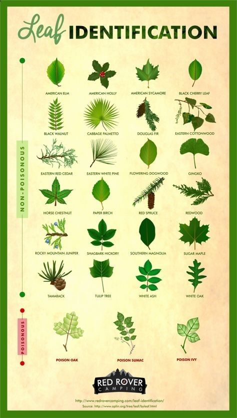 Whether youre a curious hiker or nervous camper, leaf identification is a useful skill to have. Learn how to identify different types of non-poisonous and poisonous leaves, like poison sumac, sugar maple, poison oak, gingko, and poison ivy. 27 Leaves Every Camper Should Know How to Identify | Red Rover Camping