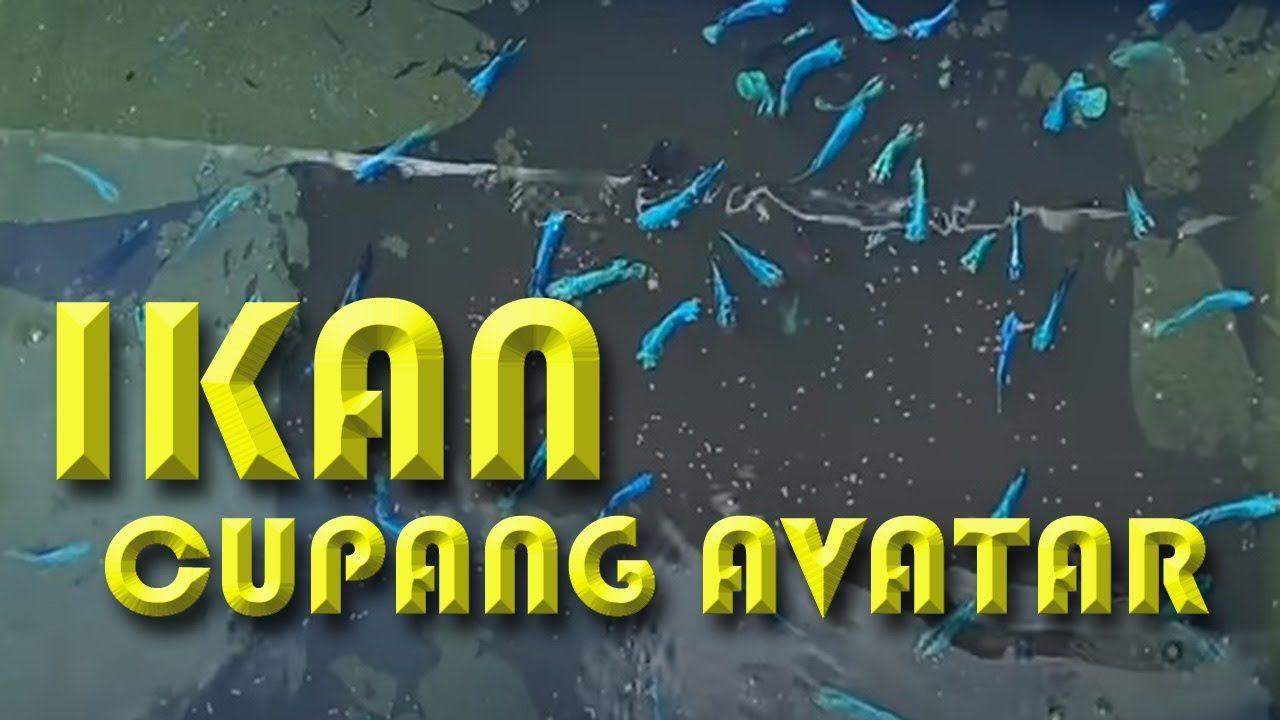 Unboxing Ikan Cupang Avatar Gordon 2020 Di 2020 Avatar Ikan Cupang Ikan