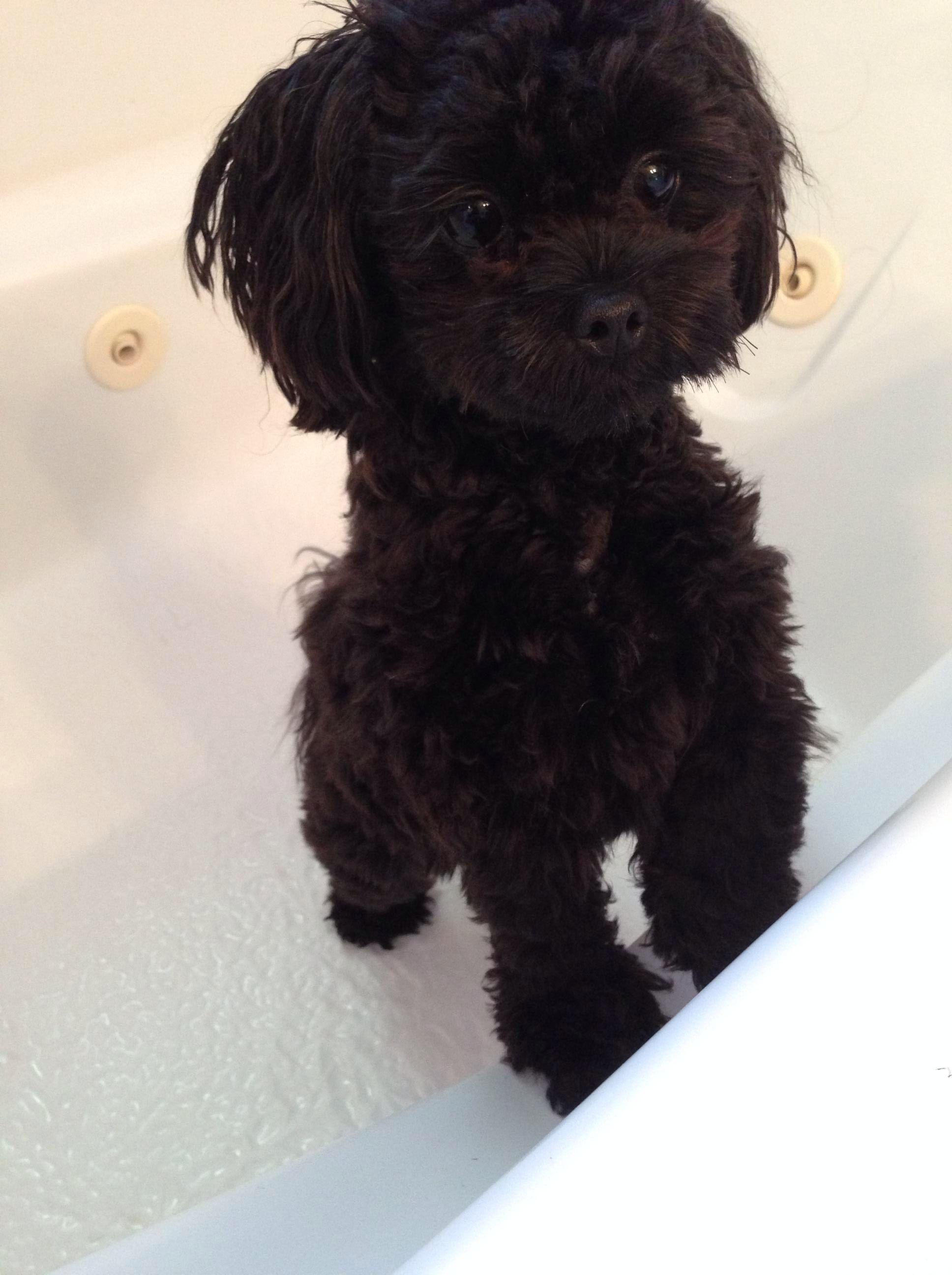 Black Shih Tzu Poo Shih Poo Poodle Mix