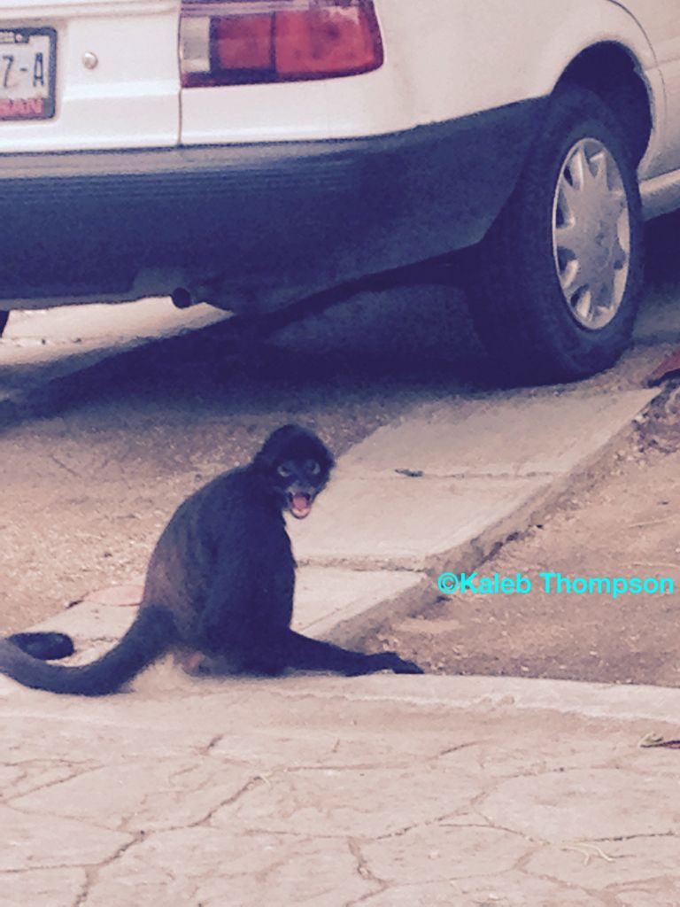 A spider monkey pausing for a photo. Haha He actually sat there like that for about three minutes or so.