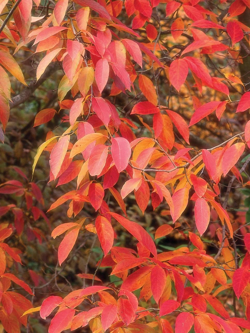 Flowering Trees For Fall Color - Types of Trees | Flowering trees ...