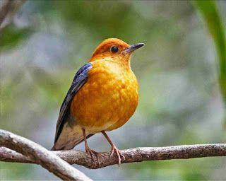 Burung Anis Merah In 2020 Pet Birds Pretty Birds Beautiful Birds