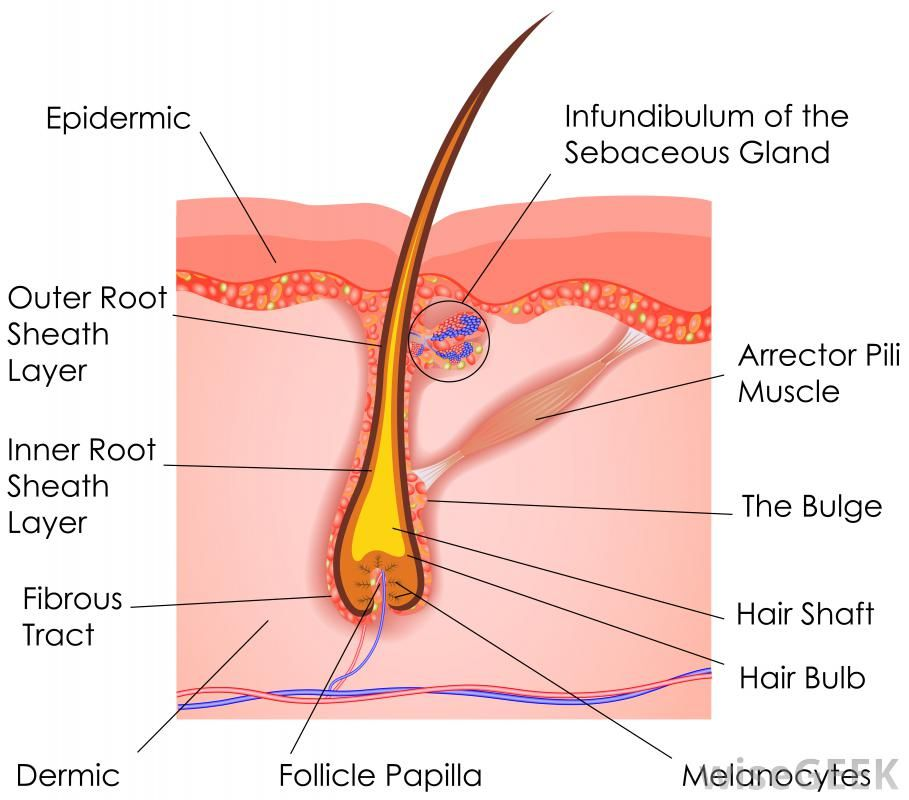 This depicts the anatomy of a hair follicle along with a sebaceous ...