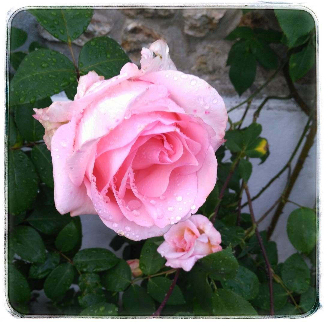 Rose parfaite ! <div class=