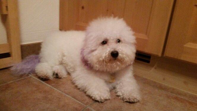 Pin by Kaori Busca on Love Love Bichon Frise Puppy
