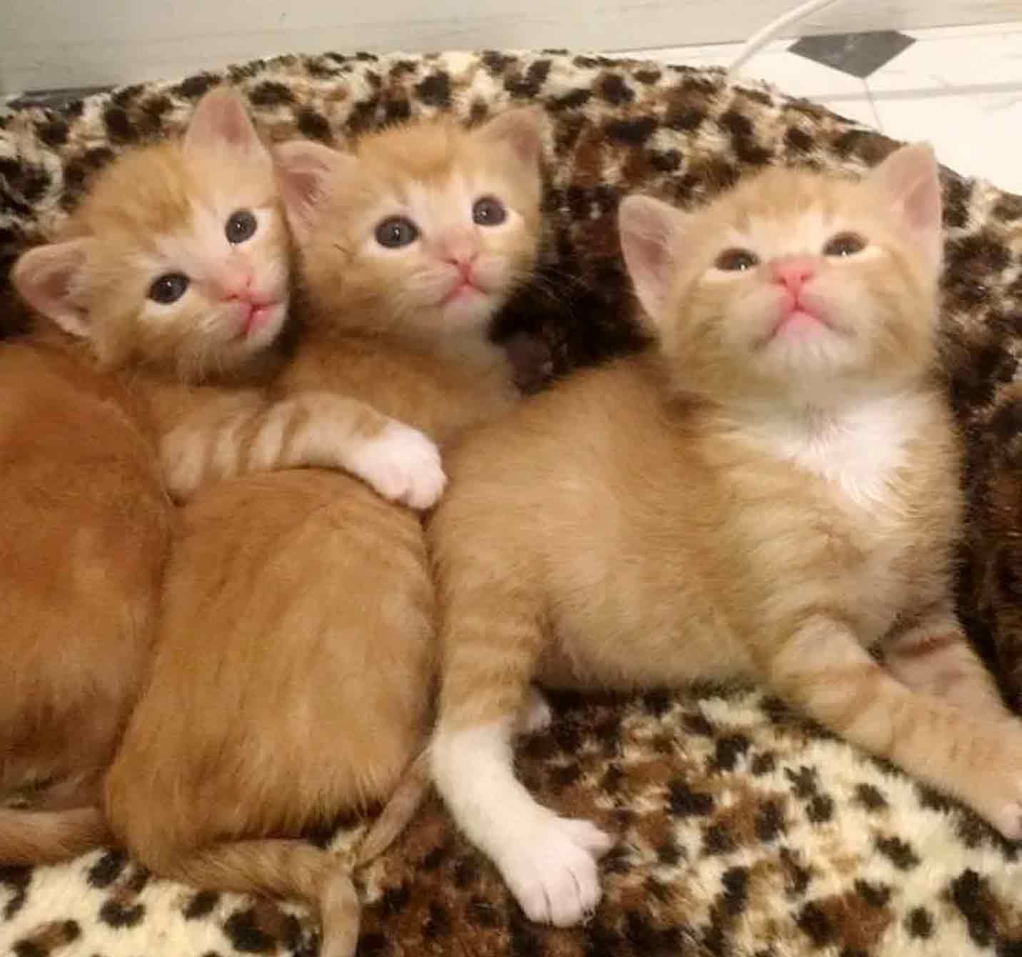 5 Orphaned Ginger Kittens Get Help Just In Time Cats And Kittens Kittens Ginger Kitten