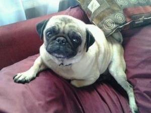 Adopt Emma On Dogs Pugs Adoption