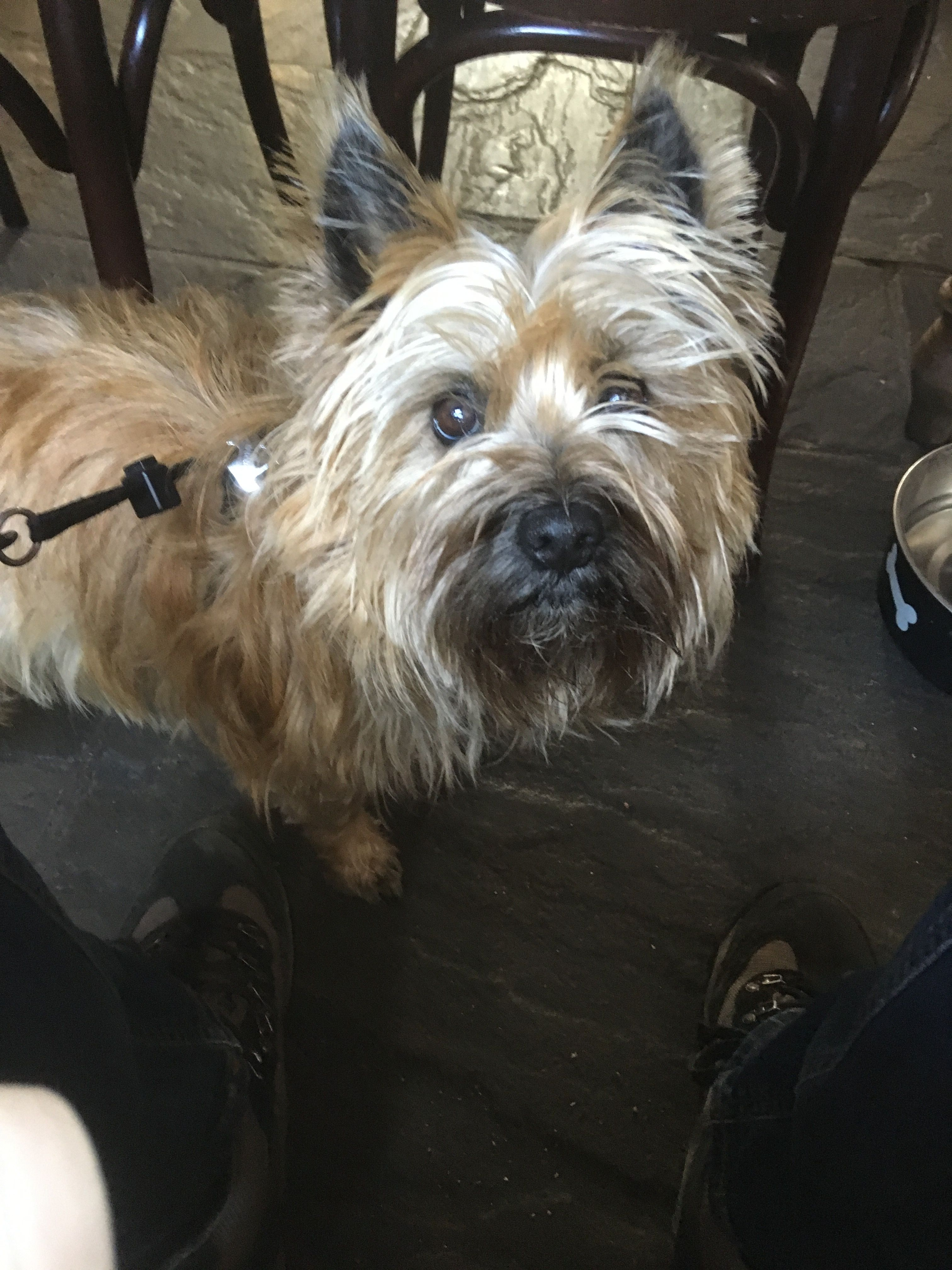 Maisie Mistletoe Cairn Terrier Terrier Little Dogs