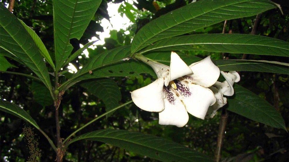 Rothmannia macrophylla, FRIM Kepong - Nella Terra di Sandokan