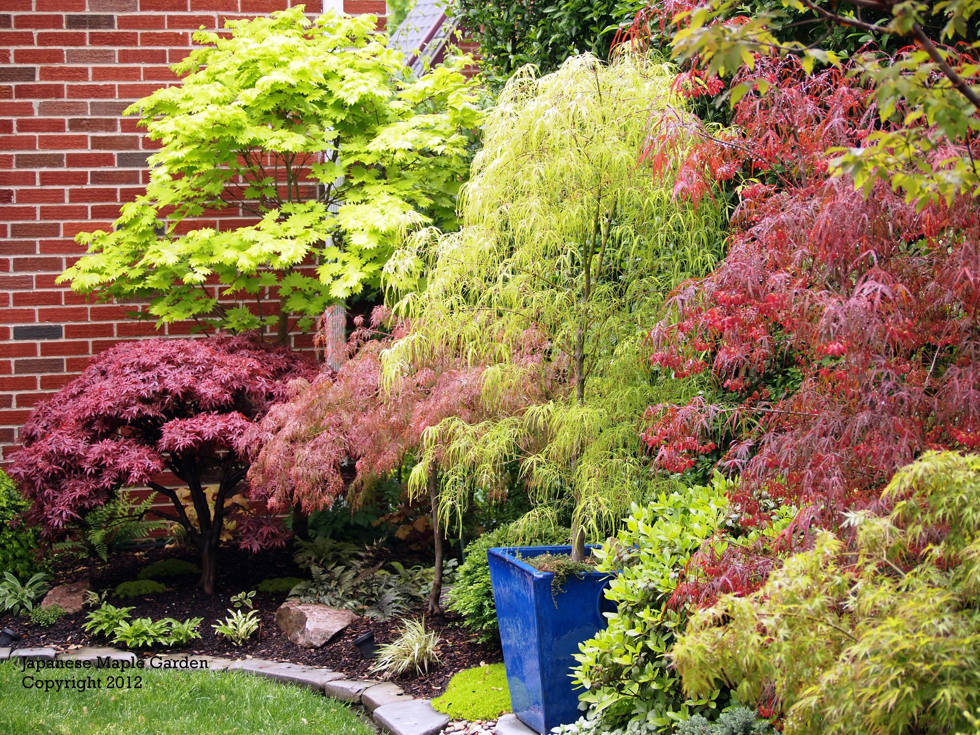 another view of layered Japanese maple border | Japanese ...