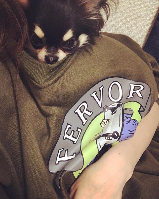 仲良し 服の中からこんにちわ ロングコートチワワ Myboo Lovely Instadog Instagood Chihuahualove Chihuahua ちわわ部 ちわわ ちわわ大好き ちわわなしでは生きていけませんの会 Cute Dogofthe チワワ 愛犬家 ぬくぬく