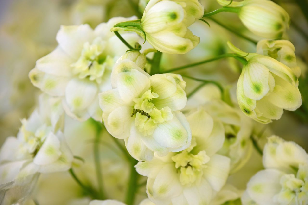 White Delphnium Flowers Close Up Beauty In Nature Close Up Day