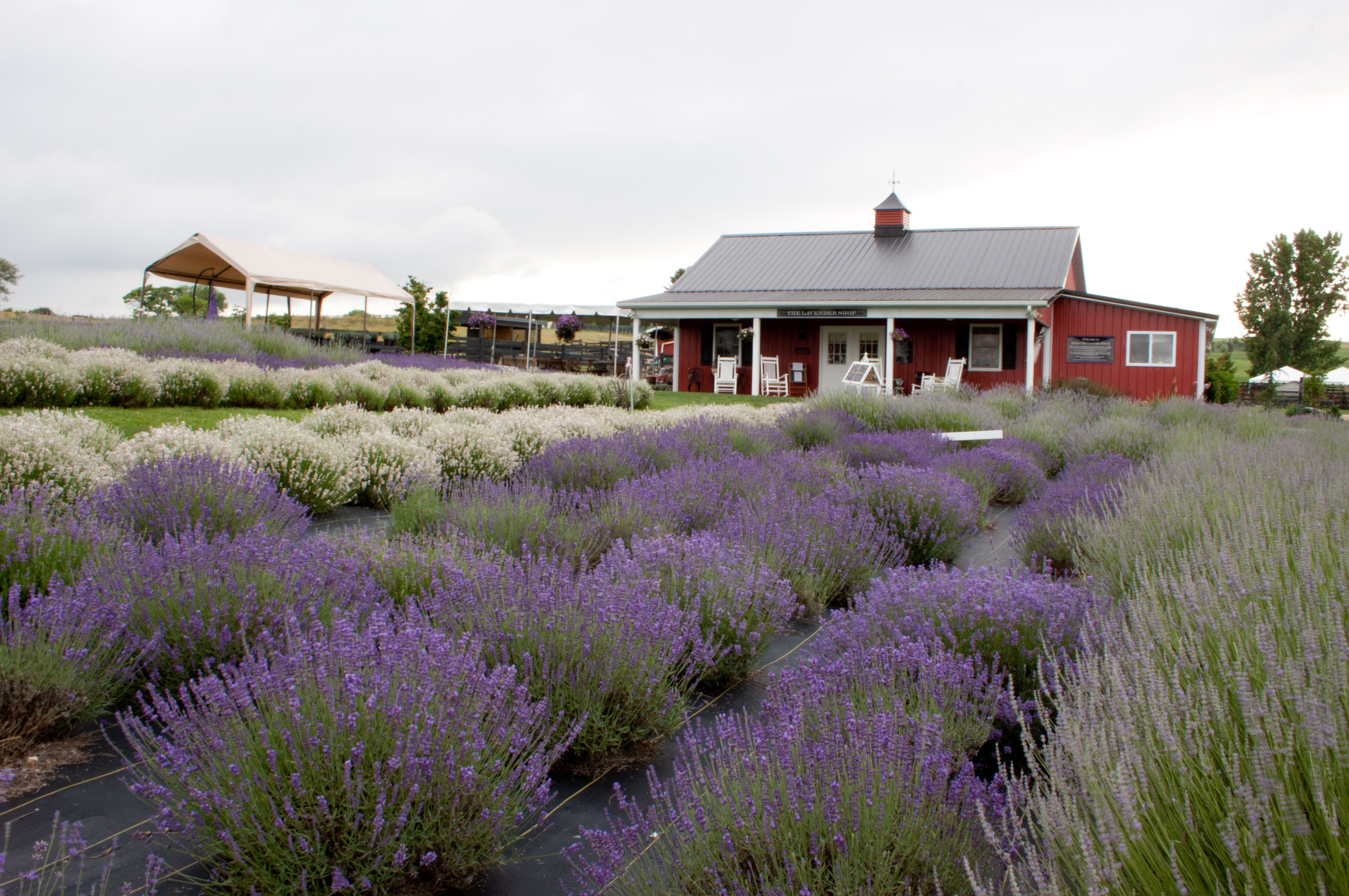 White Oak Lavender Farm in Harrisonburg, Virginia, Home of