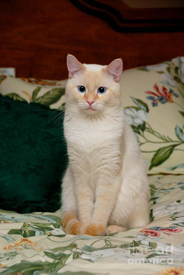 Flame Point Siamese Cat By Amy Cicconi Pretty Cats Siamese Cats