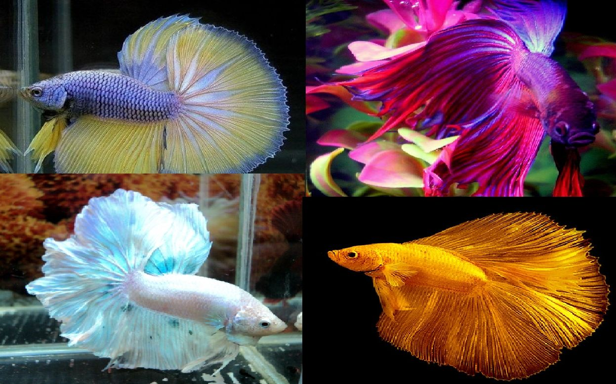 Characters Pet Shop Rp Pet Shop Betta Aquarium Fish Pet