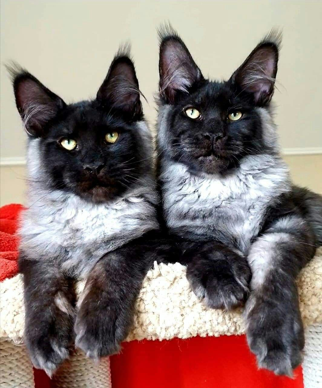 Brother S Sons From Country Gulliver S Uno Dei Best Beautiful Cats Cats And Kittens Cool Cats