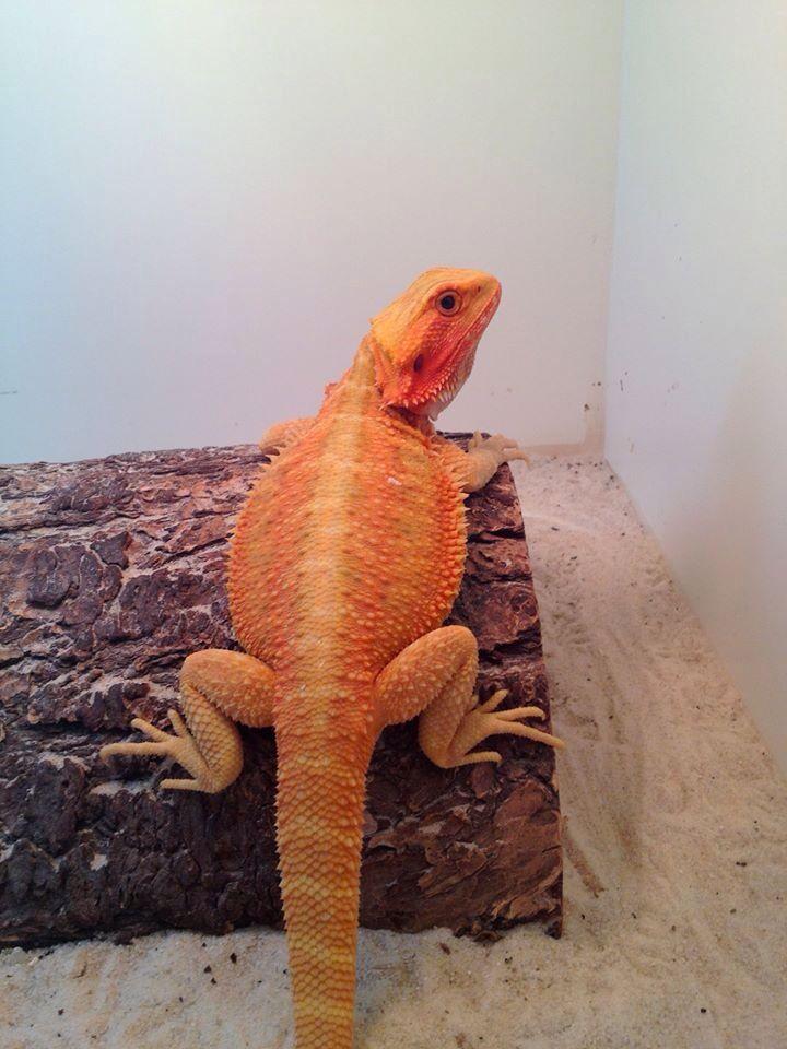 "Wesley - bearded dragon Babies for sale on Facebook "" Bradburys bearded dragons"""