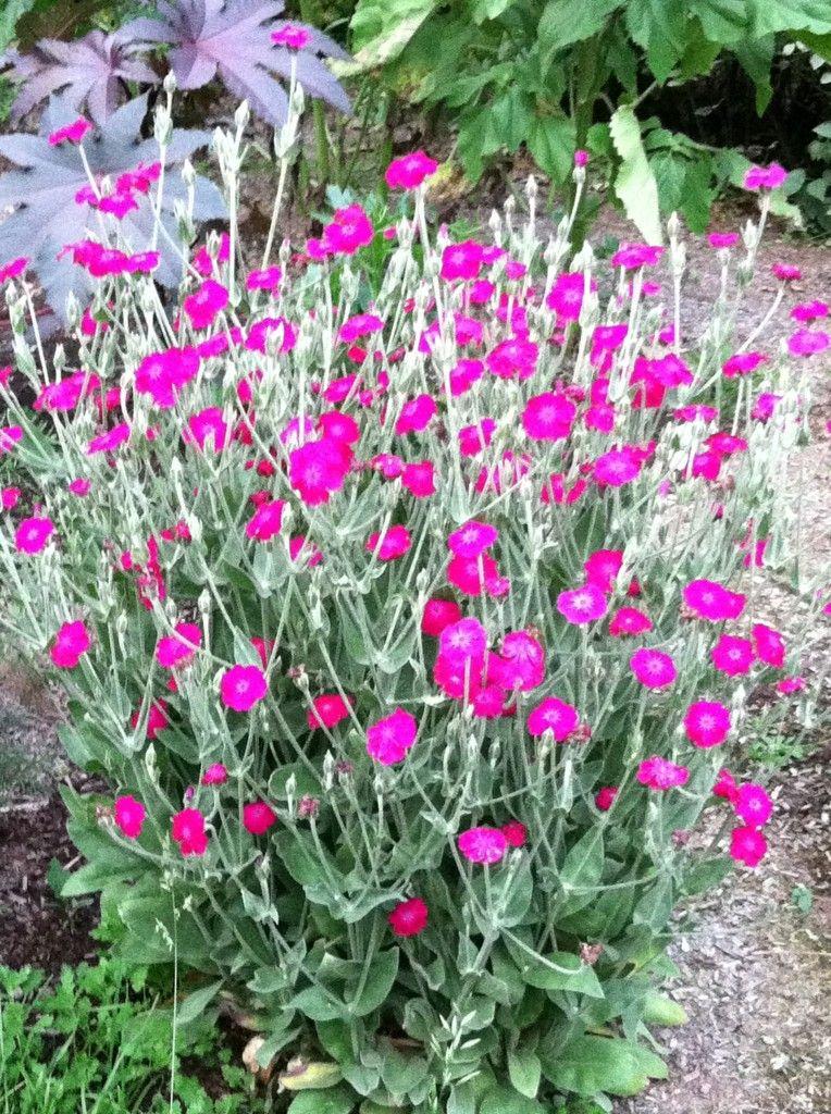 Lychnis coronaria/Rose Campion | Garden: Wild Flower ...