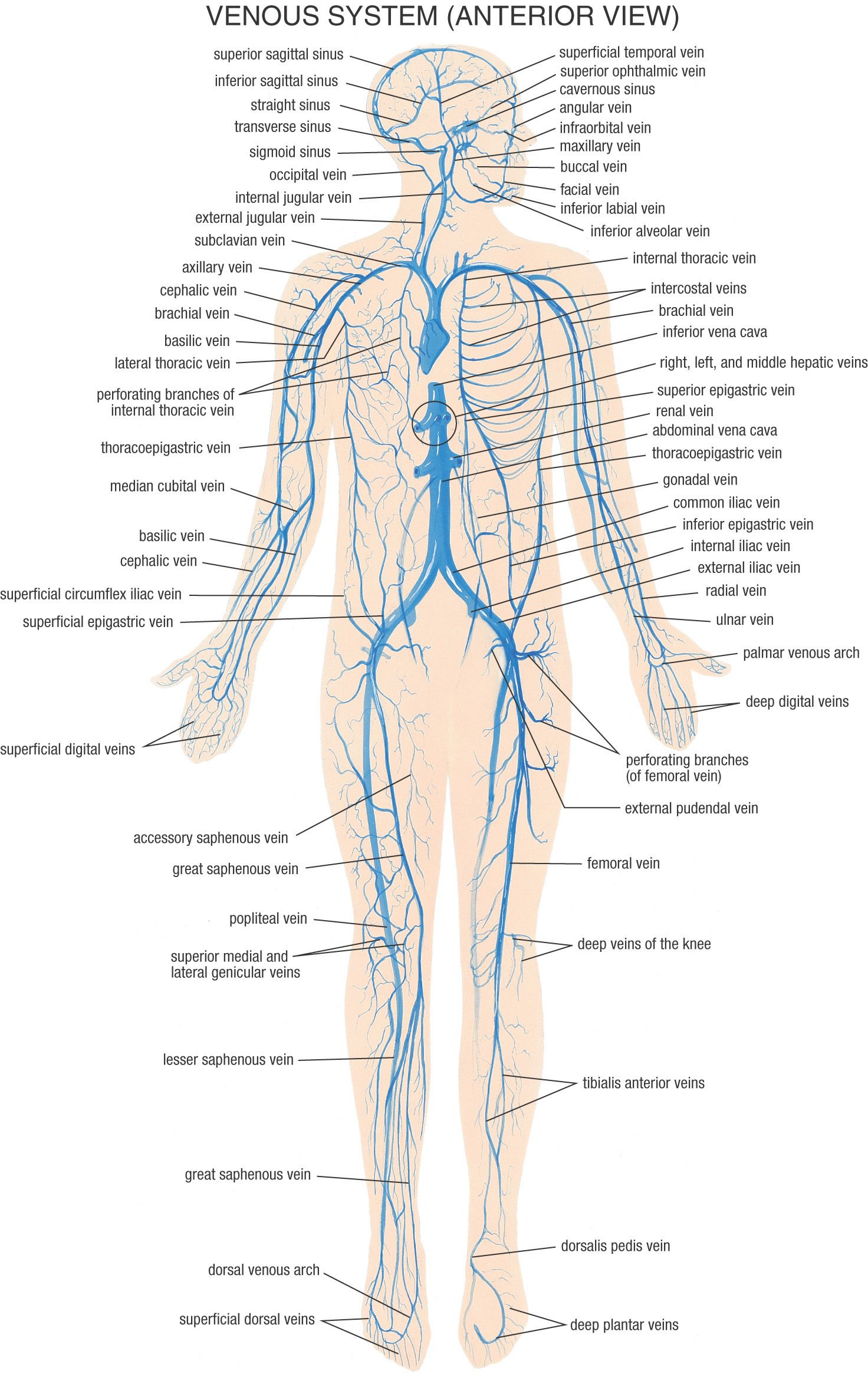 Venous System - Anterior View ~ Anatomy | Medicine | Pinterest | Om ...