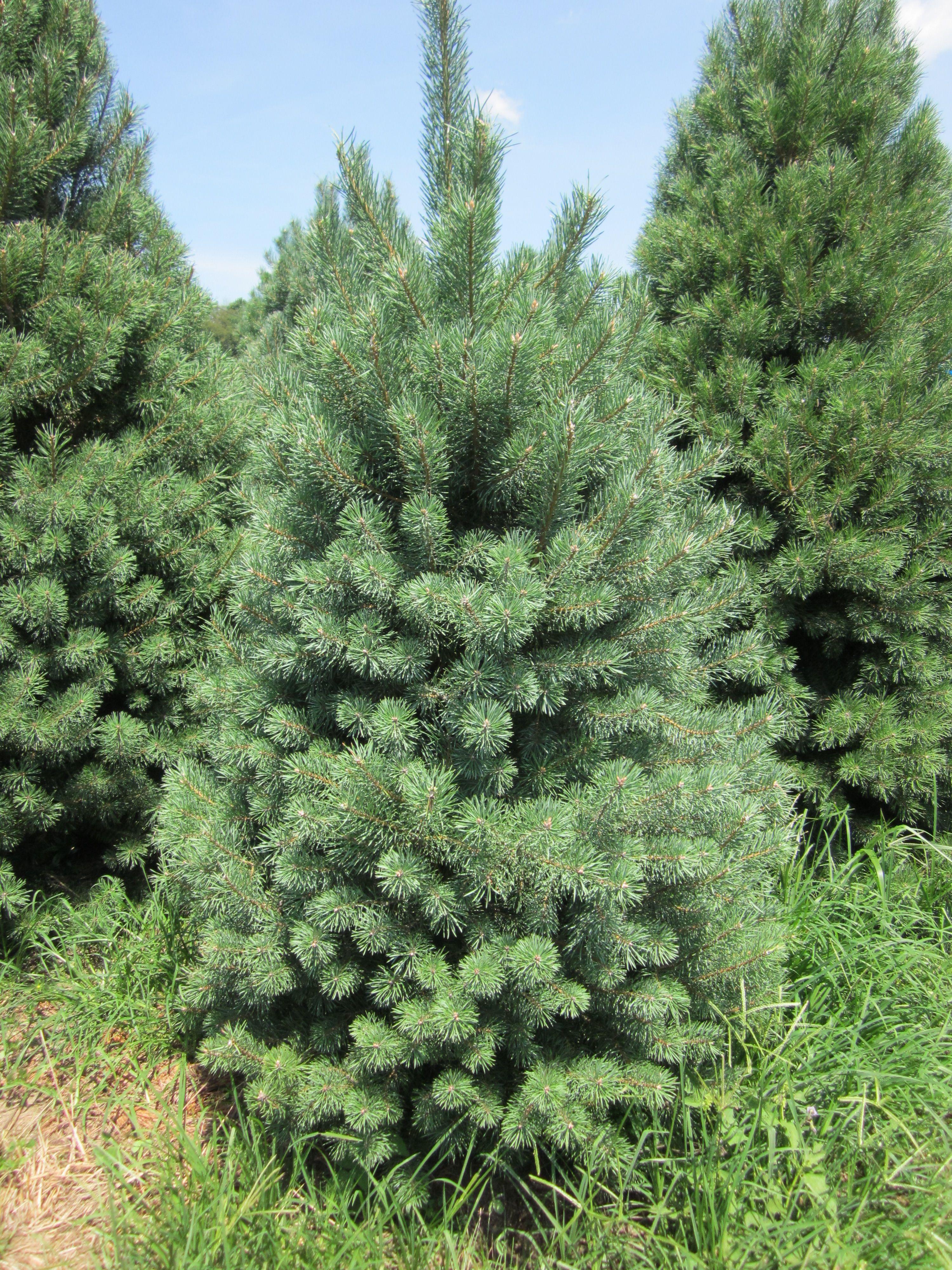 Christmas Tree Farms In North Carolina
