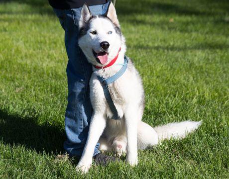 Siberian Husky Dog For Adoption In Harvard Il Adn 554285 On