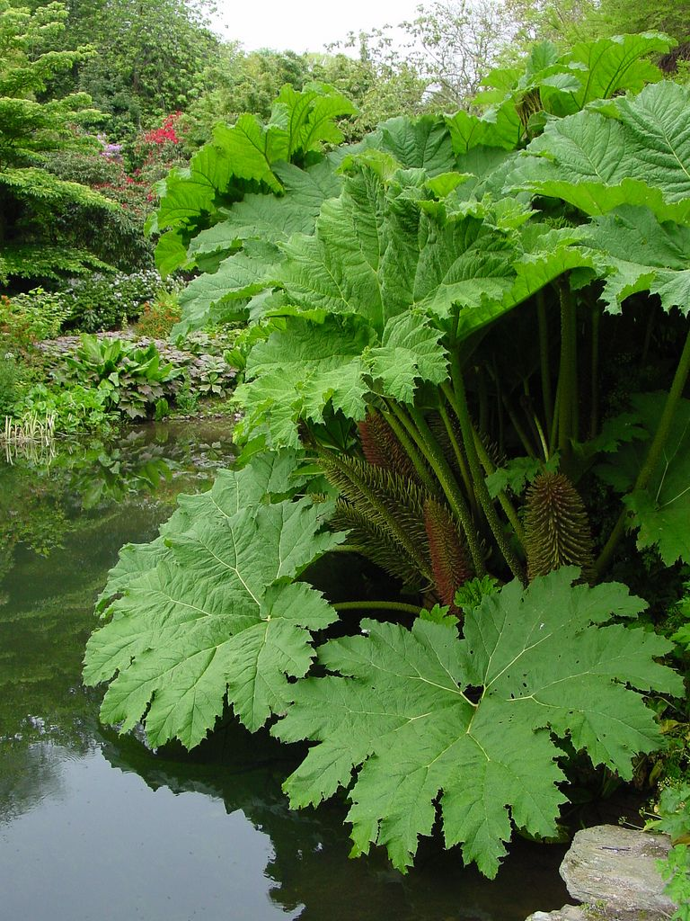 Gunnera Plants Spaces and Gardens