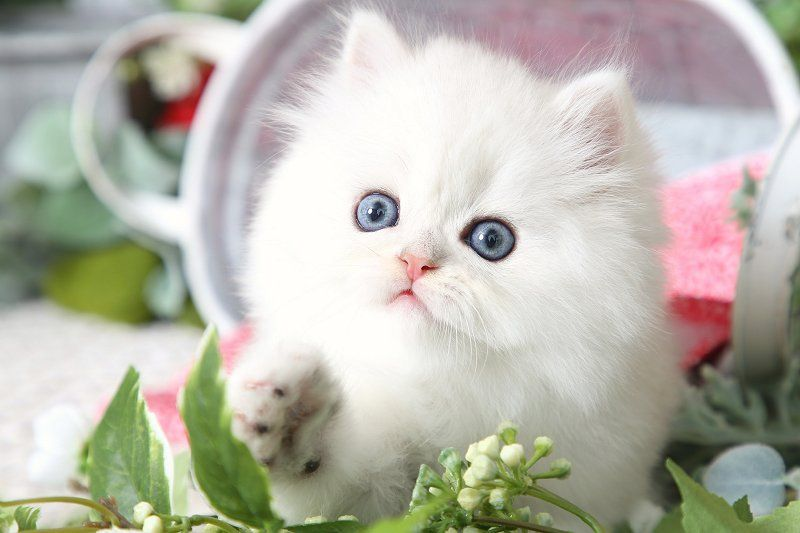 Silver Chinchilla Teacup Persian Kittens Persian kittens