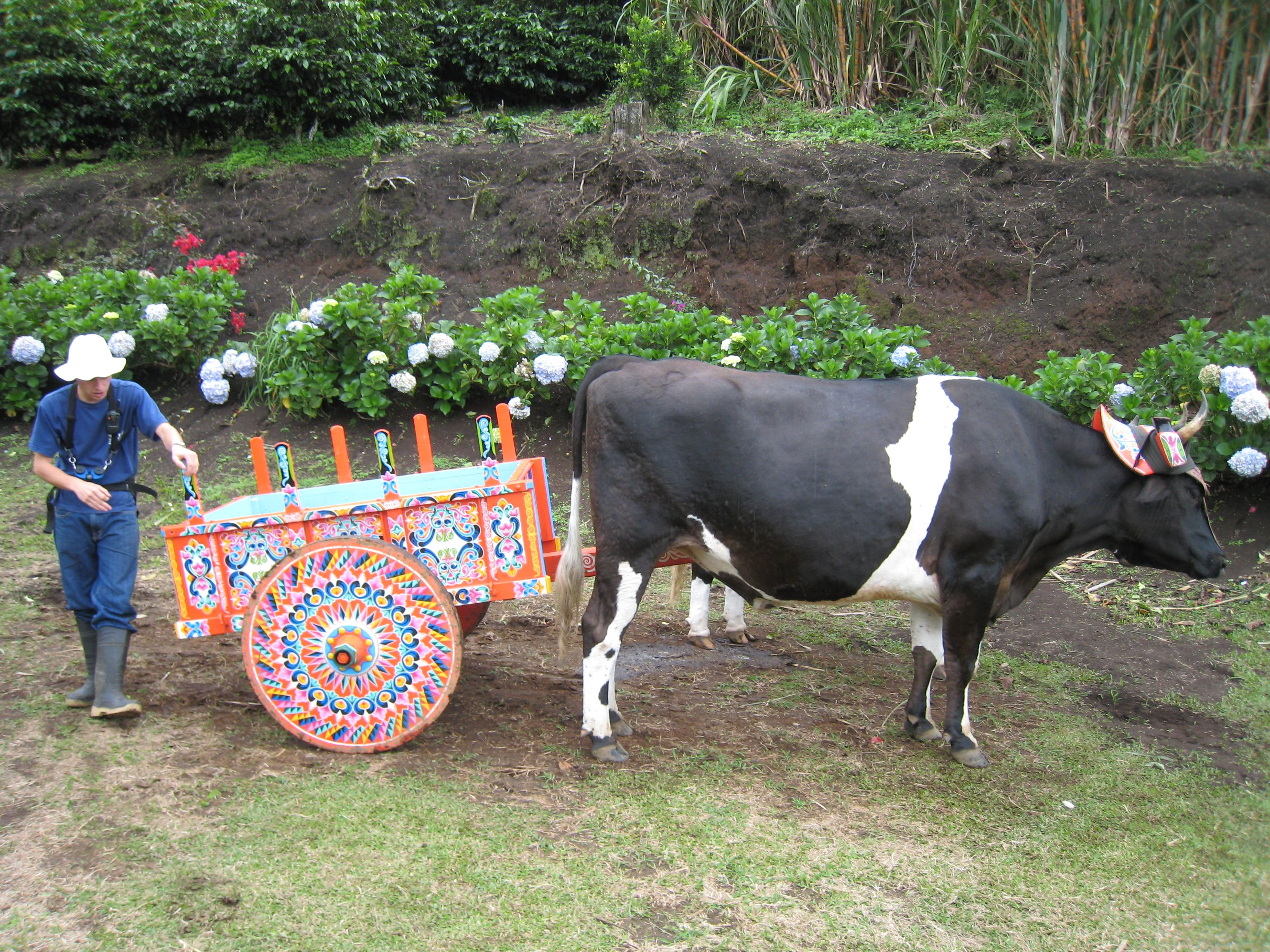 Thecowpushingthedecoratedcartg 30722304 gt mg the costa rican decorated ox cart uescos rep list of intangible cultural heritage of humanity buycottarizona