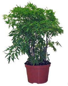 Aralia Ming Fabian Polyscias Fruticosa P Scutellaria