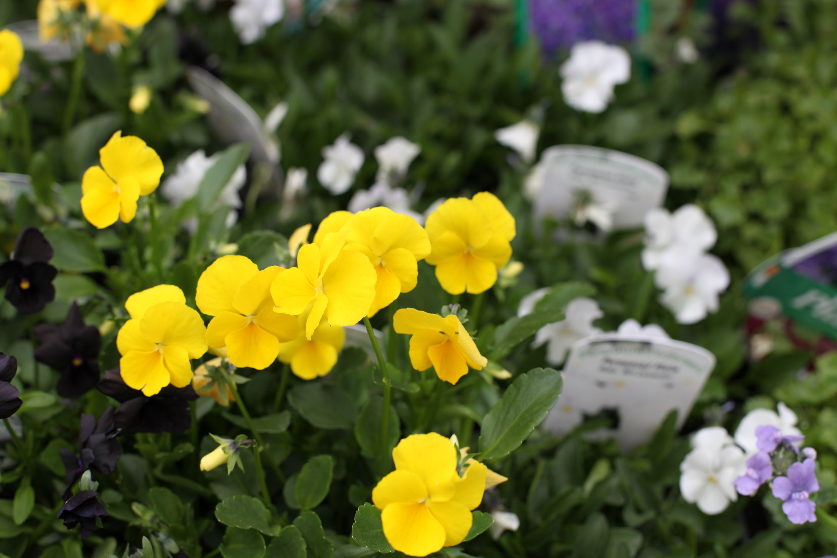 Viola Buttercup Yellow Scented Yellow Flowers In Profusion