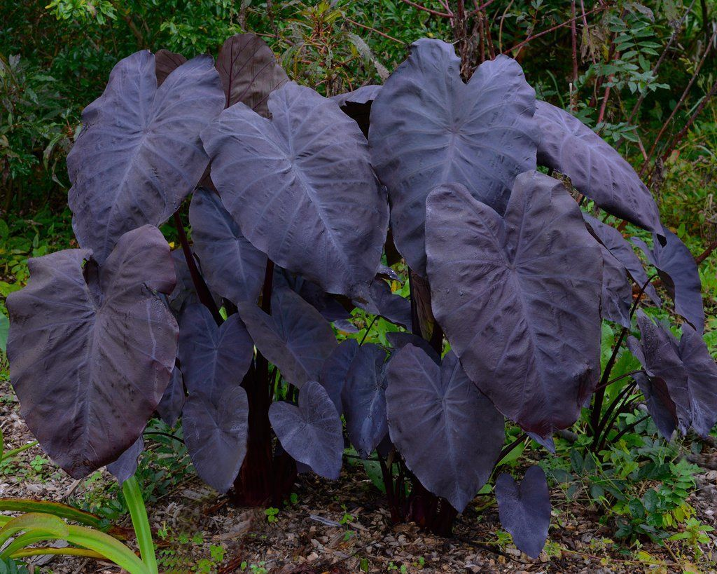 Colocasia Esculenta Black Magic Bulbs Buy Black Elephant Ears Online At Farmer Gracy Uk Wh In 2020 Tropical Plants Uk Tropical Garden Plants Black Elephant Ears