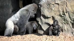 Resultado de imagem para el rey de los gorilas (mexico 1977)