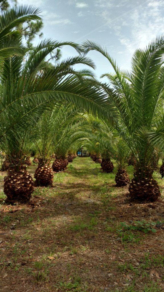 Canary Island Date Palm Tree Canary island date palm