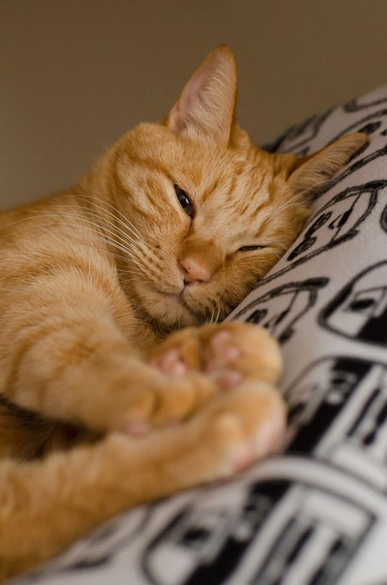 Pin By Karools T On Cats In 2020 Orange Tabby Cats Cat Facts Orange Cats
