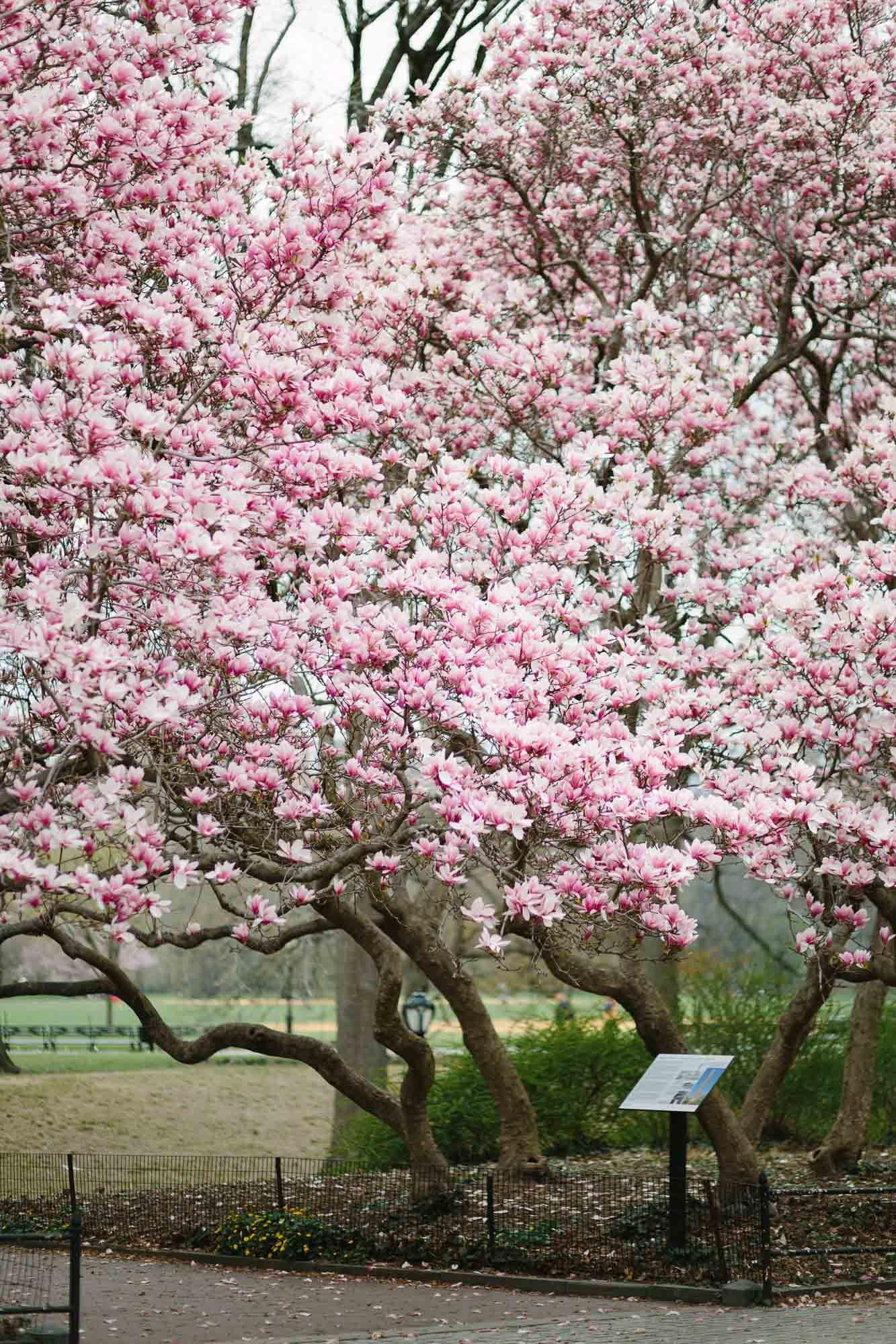 Cherry Blossoms Upper East Side Nyc Guide York Avenue Spring In New York Blossom Garden Central Park Nyc